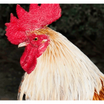 Golden Rooster Sells for Over 200k at Auction